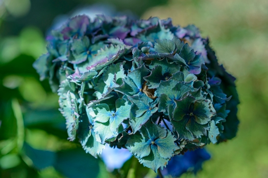 Hydrangea - Fine Art Photography - Scotland - Ewan Mathers